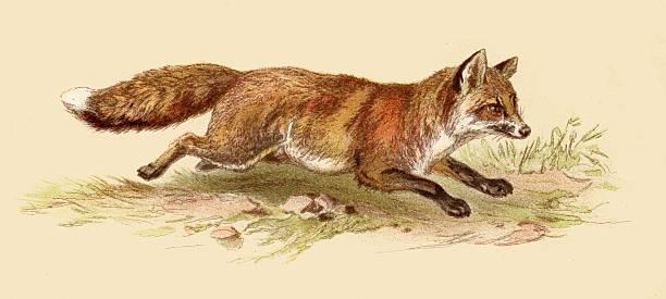 red fox illustration 1888 - キツネ点のイラスト素材/クリップアート素材/マンガ素材/アイコン素材