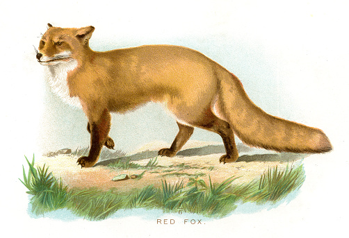 Red fox lithograph 1897