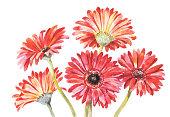 赤色ガーベラ水彩イラストレーション。ハンド描画ブーケ 5 つの赤い花
