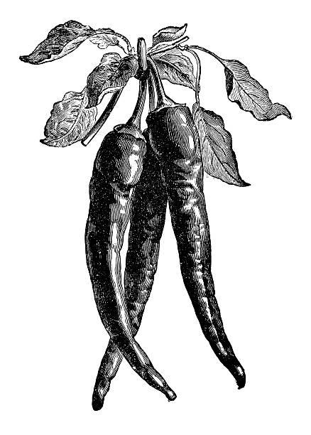 illustrations, cliparts, dessins animés et icônes de red hot chili, le piment de cayenne et le jardin de légumes illustration clipart - cuisine espagnole
