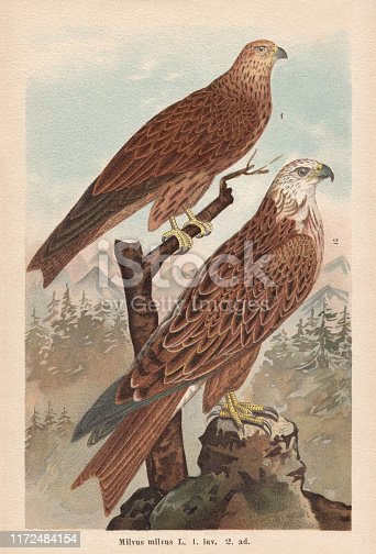 Red kite (Milvus milvus), 1) juvenile 2) adult. Chromolithograph, published in 1896.