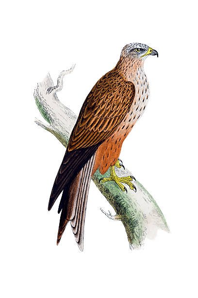 Best Red Kite Illustrations, Royalty-Free Vector Graphics ...