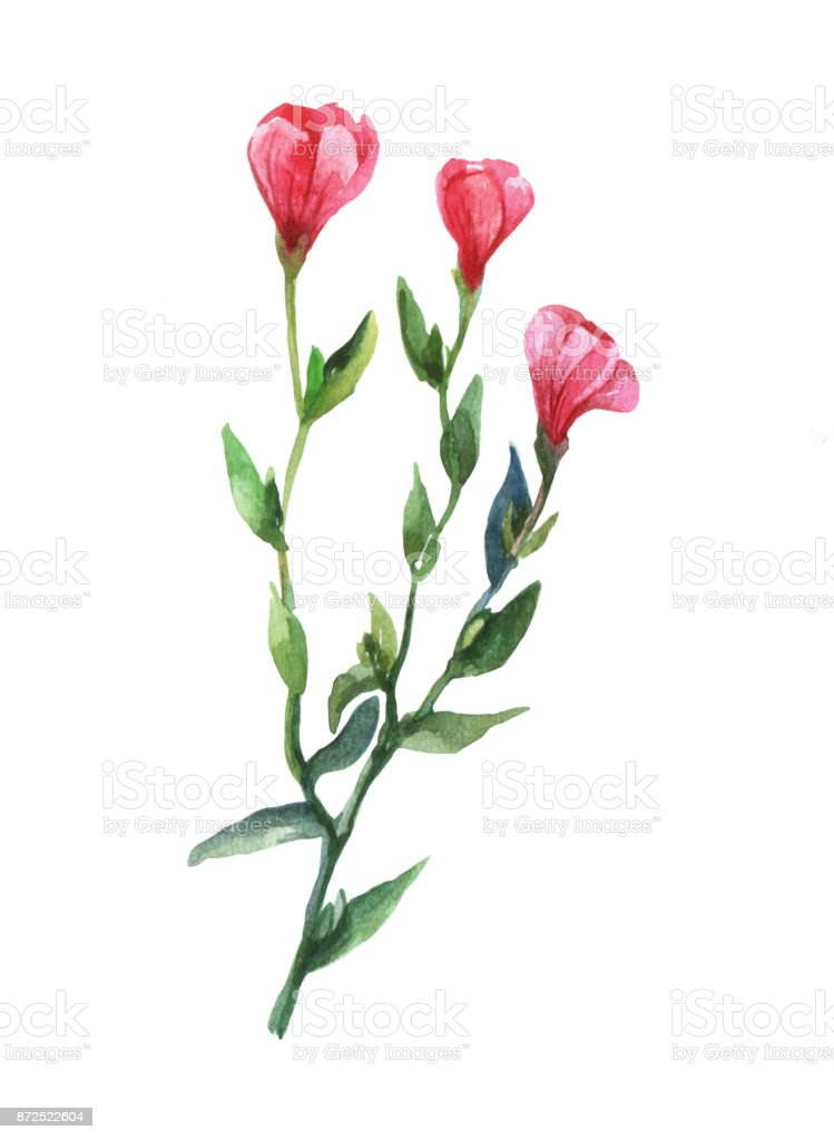 Red Lein, flowering flax, red flax, scarlet flax, crimson flax(Linum grandiflorum). Watercolor illustration on white background. vector art illustration