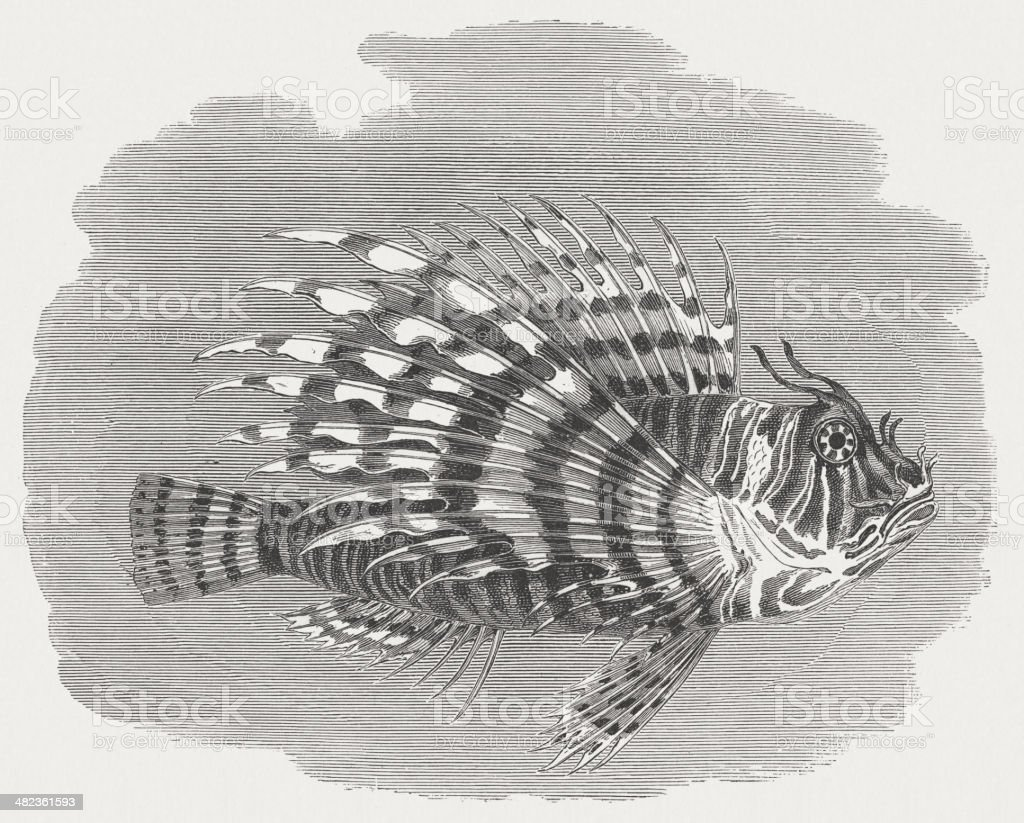 Red lionfish (Pterois volitans), wood engraving, published in 1884 royalty-free stock vector art