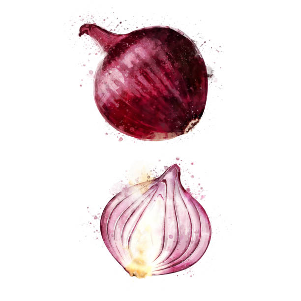 red onion on white background. watercolor illustration - onion stock illustrations
