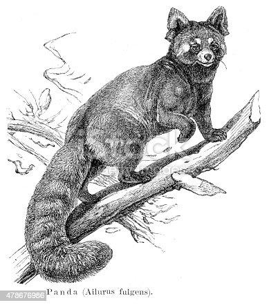 Red pandar engraving