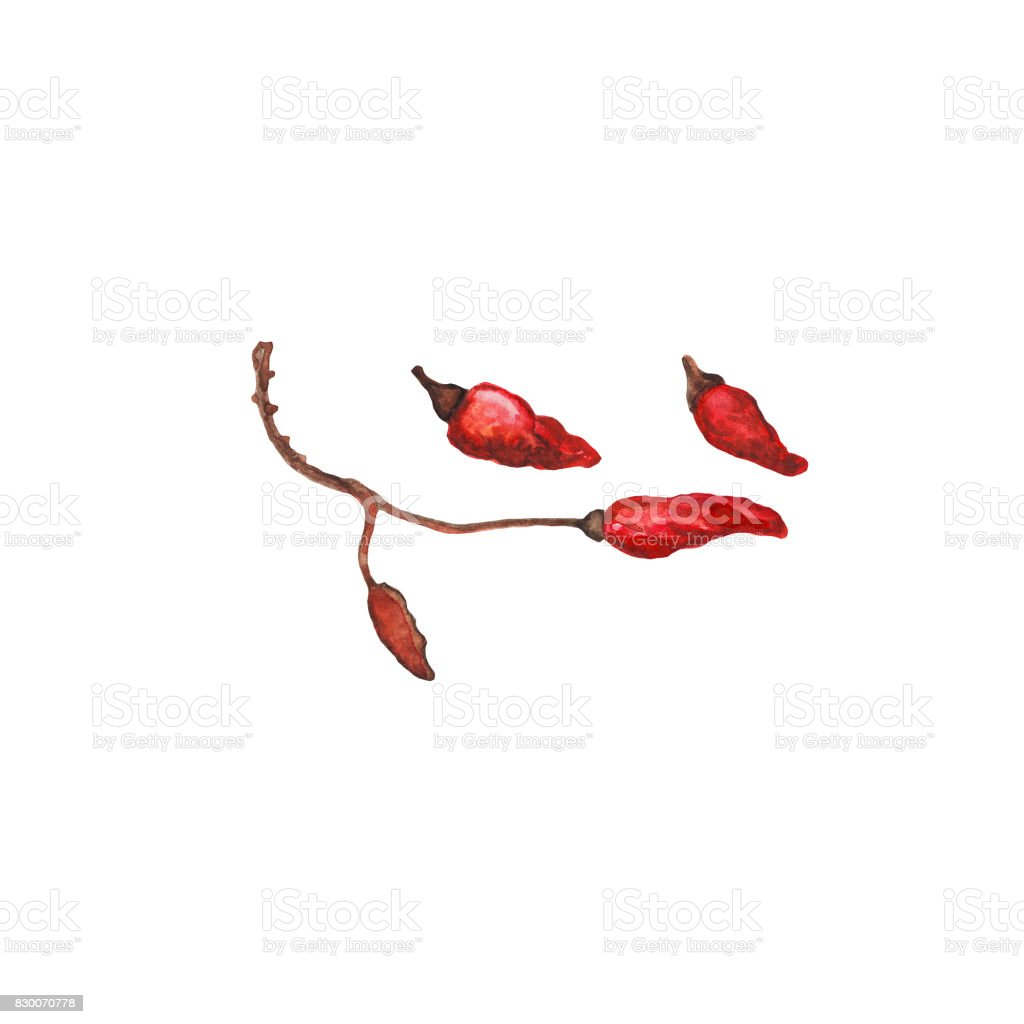 Red pepper on branch handdrawn illustration. Hot pepper watercolor painting on white background. vector art illustration