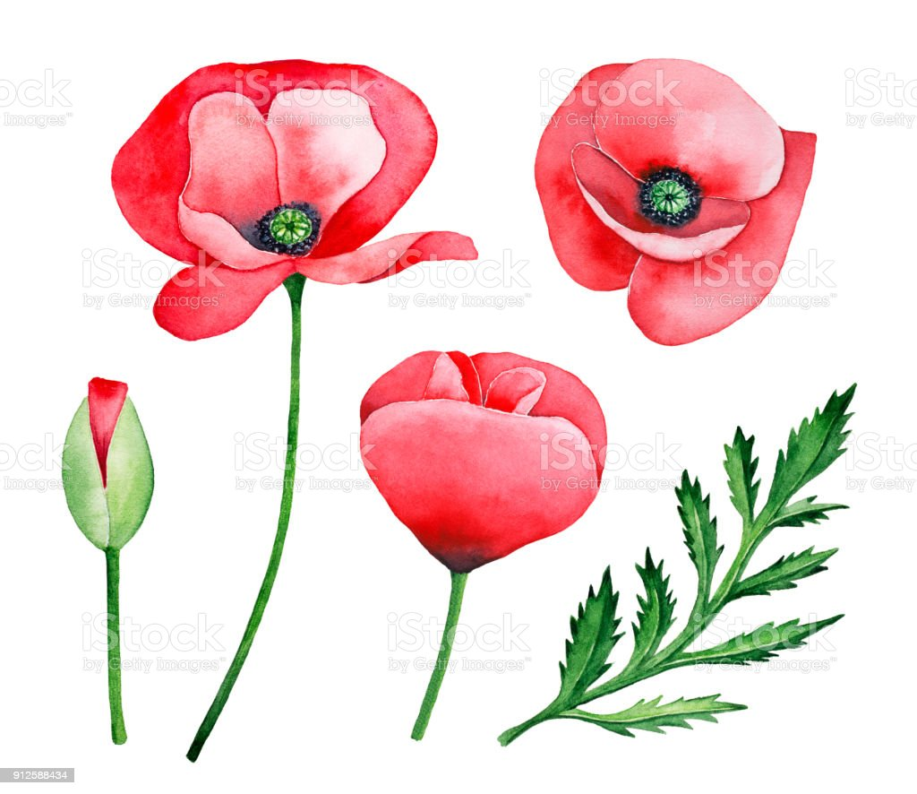 Kırmızı Haşhaş çiçek Kümesi El çekilmiş Su Renk Izole Beyaz Arka