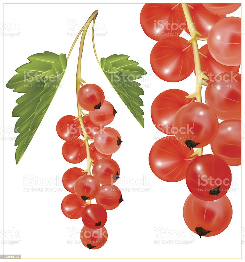 Red ripe currant  with green leaves. vector art illustration