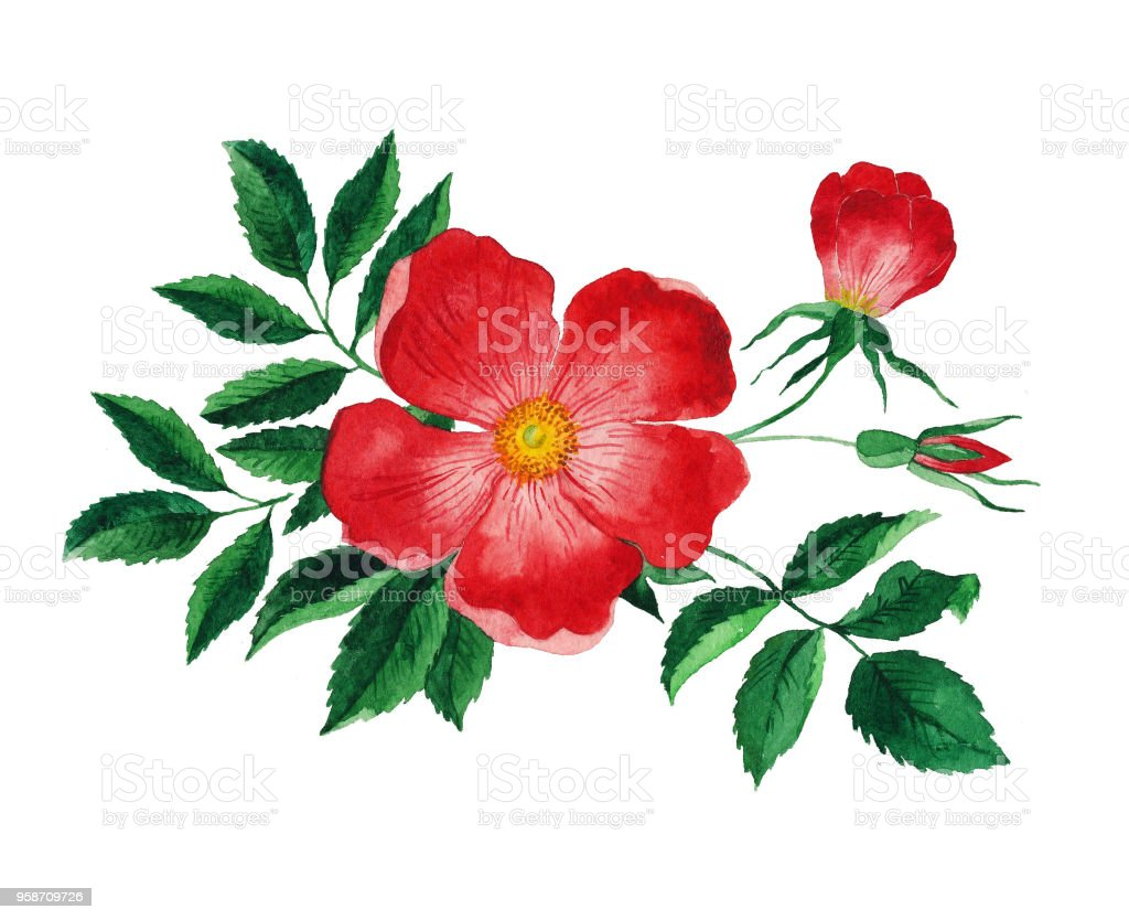 Rouge Rose Musquee Aquarelle Fleur Avec Des Feuilles Cliparts
