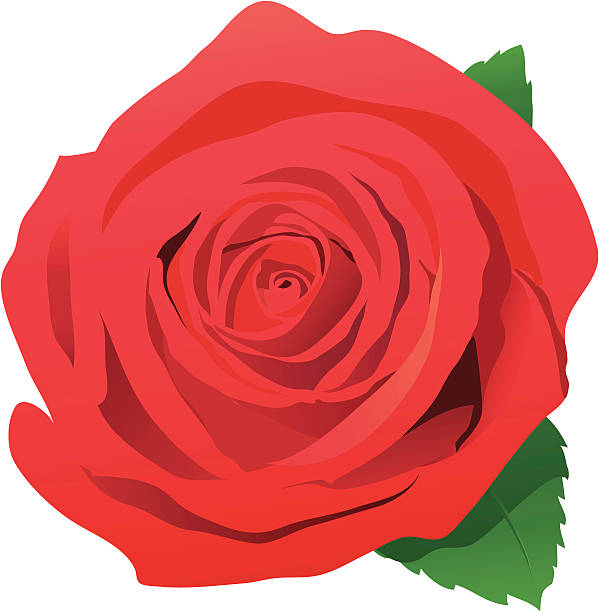 Single Rose Clip Art, Vector Images & Illustrations - iStock