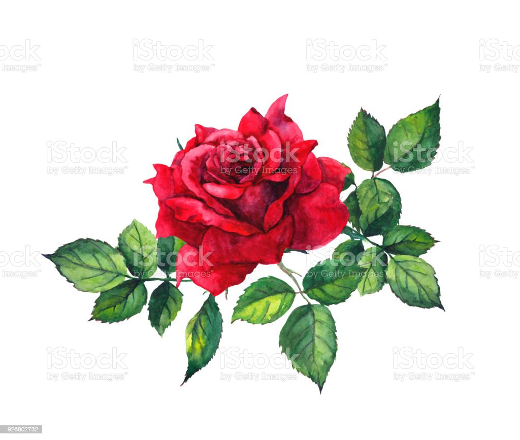 Kırmızı Gül Yaprakları Tek çiçek Ile Suluboya Stok Vektör Sanatı