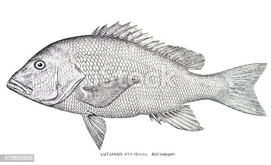 Red Snapper engraving