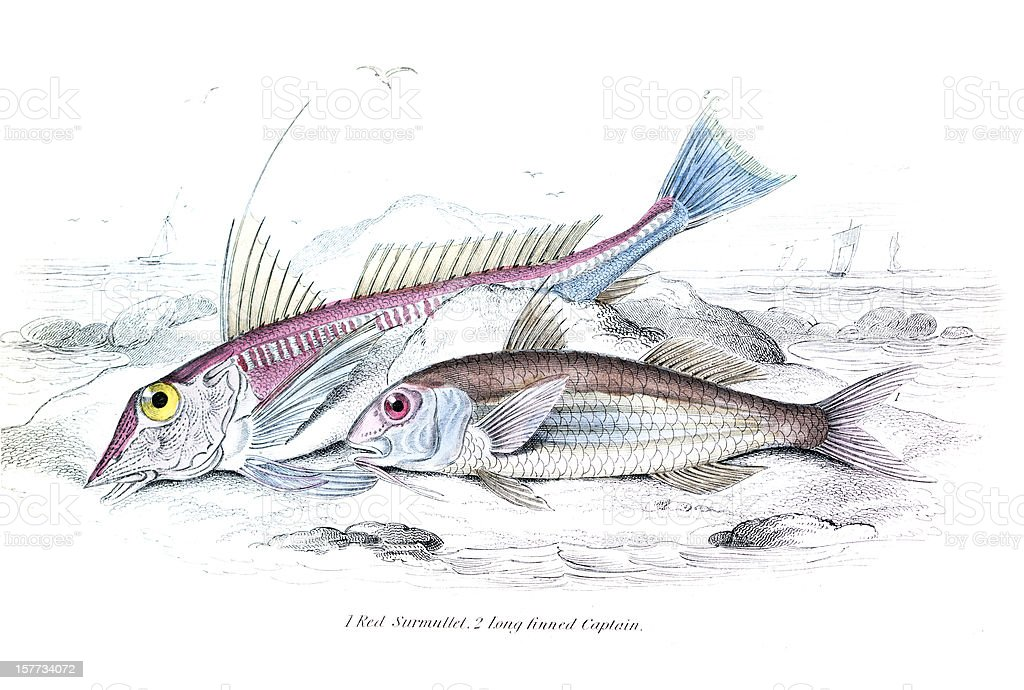 Red Surmullet and Long Finned Captain royalty-free red surmullet and long finned captain stock vector art & more images of animal wildlife