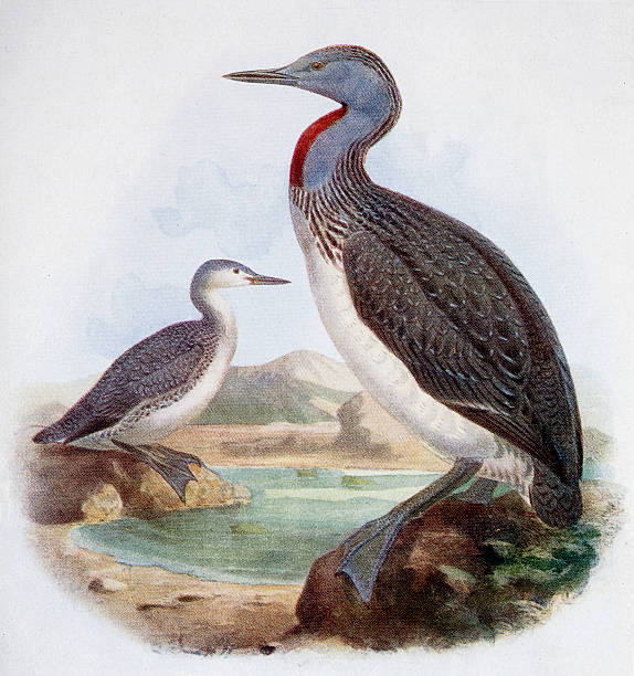 Red Throated Diver Illustration 19th Century Illustration loon bird stock illustrations