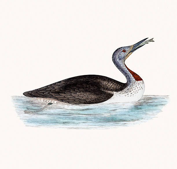 Red throated Loon bird A photograph of an original hand-colored engraving from The History of British Birds by Morris published in 1853-1891. loon bird stock illustrations