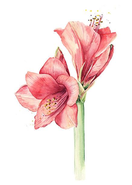 bildbanksillustrationer, clip art samt tecknat material och ikoner med red watercolor flower hippeastrum or amaryllis - amaryllis