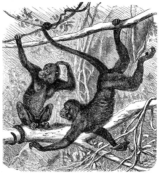 red-faced spider monkey (ateles paniscus) - 猿点のイラスト素材/クリップアート素材/マンガ素材/アイコン素材