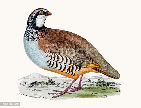 A photograph of an original hand-colored engraving from The History of British Birds by Morris published in 1853-1891.
