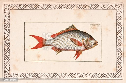 The red-tailed Gilt-head ( Sparus Erythrourus ) Original edition from my own archives Source : Ichtyologie Histoire Naturelle de poissons 1797