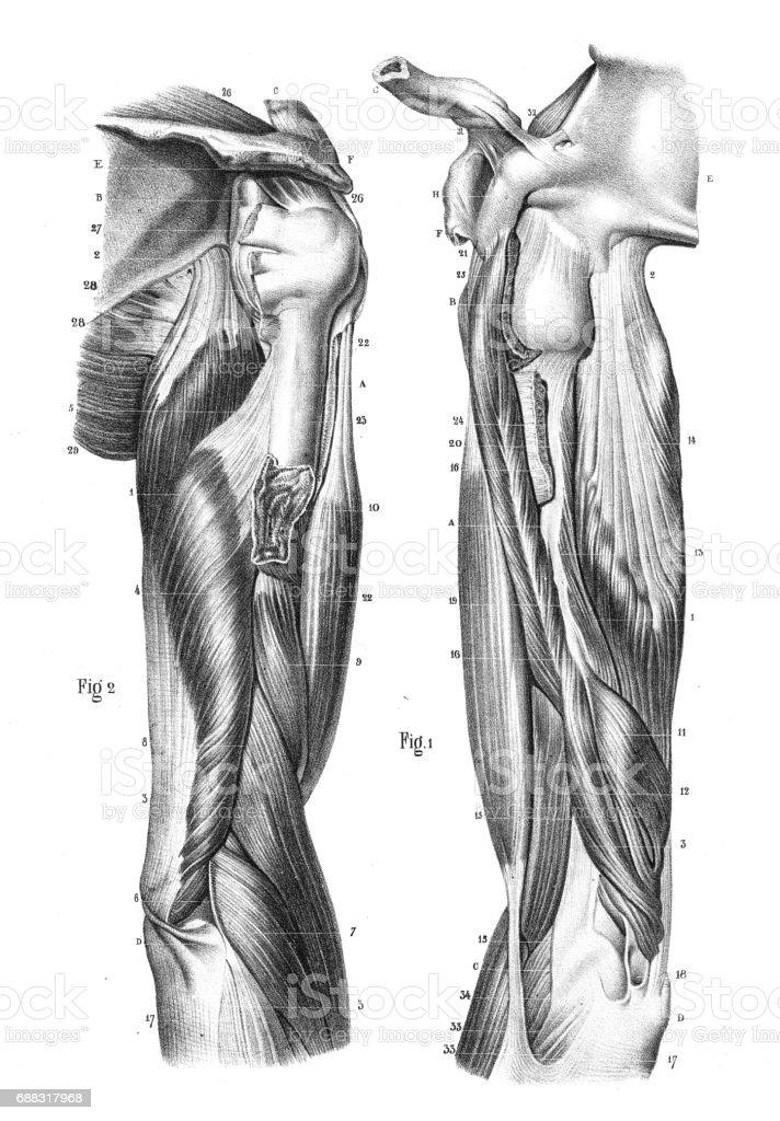 Ausgezeichnet Vordere Serratus Anatomie Bilder - Menschliche ...