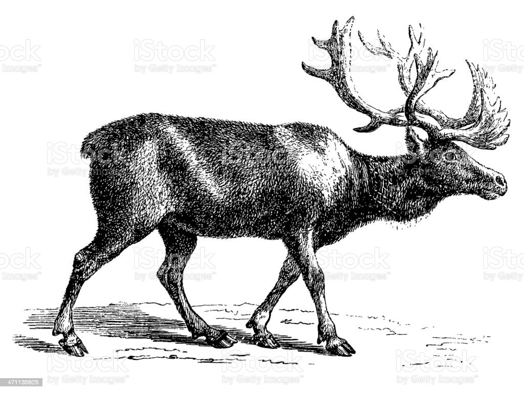 Reindeer | Antique Animal Illustrations vector art illustration