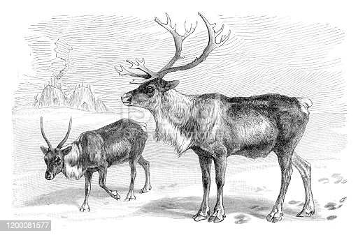 Reindeer couple ( Rangifer tarandus ) Original edition from my own archives Source :