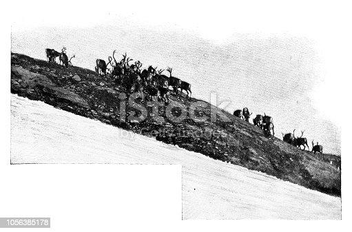 Reindeer herd grazing - Scanned 1899 Engraving