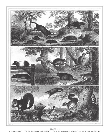Representatives of the Orders Insectivora, Carnivora, Rodentia, and Lagomorpha Engraving Antique Illustration, Published 1851