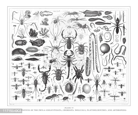 Representatives of the Phyla Coelenterata, Chordata, Mollusca, Platyhelminthes and Arthropoda Engraving Antique Illustration, Published 1851. Source: Original edition from my own archives. Copyright has expired on this artwork. Digitally restored.