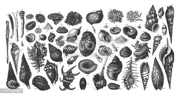 Representatives of the Phyla Porifera, Coelenterata and Mollusca Engraving Antique Illustration, Published 1851. Source: Original edition from my own archives. Copyright has expired on this artwork. Digitally restored.
