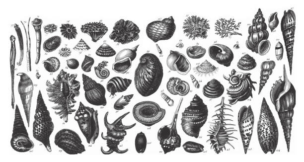 Representatives of the Phyla Porifera, Coelenterata and Mollusca Engraving Antique Illustration, Published 1851 Representatives of the Phyla Porifera, Coelenterata and Mollusca Engraving Antique Illustration, Published 1851. Source: Original edition from my own archives. Copyright has expired on this artwork. Digitally restored. mollusk stock illustrations