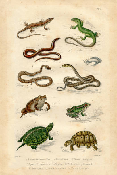 Reptile Antique french collection illustration with paper texture Vintage etching print from old book with french text amphibians stock illustrations