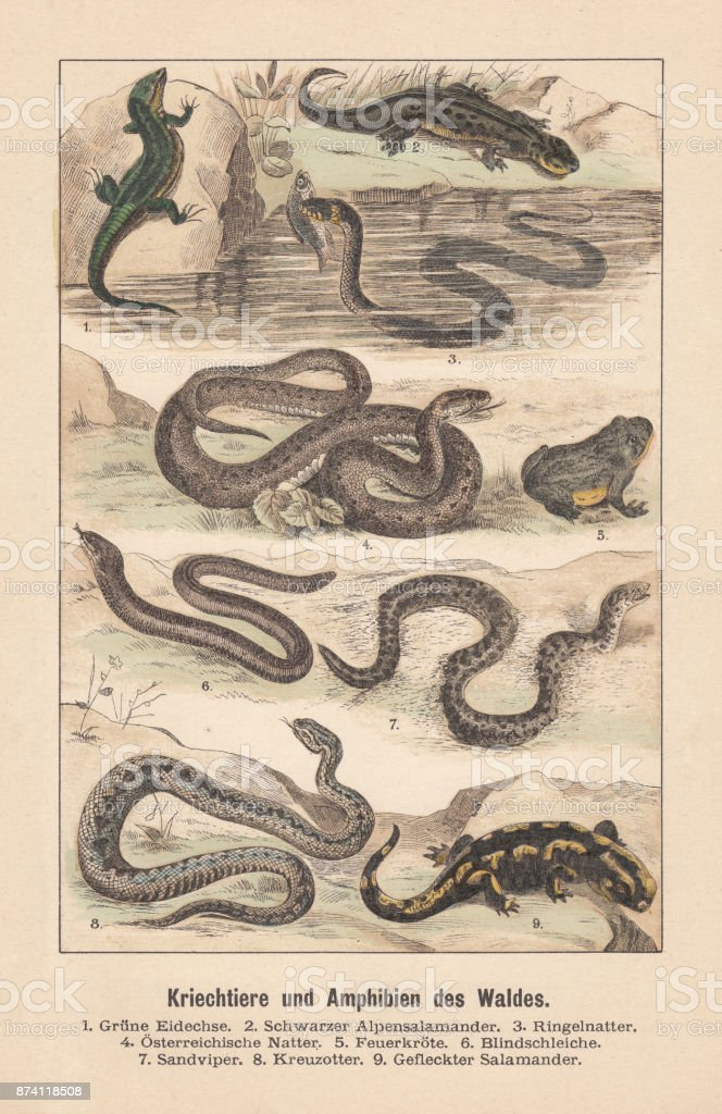 Reptiles and amphibians of the forest, hand-colored lithograph, published 1891 vector art illustration