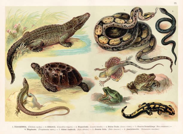 reptiles lithograph 1888 - amphibians stock illustrations