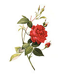 istock XXXL Resolution Rose   Antique Flower Illustrations 157564417