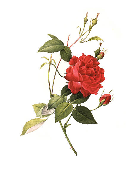 XXXL Resolution Rose | Antique Flower Illustrations vector art illustration