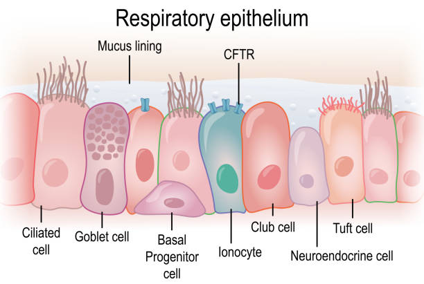 Respiratory epithelium in humans showing different cell types Respiratory epithelium in humans showing different cell types epithelium stock illustrations