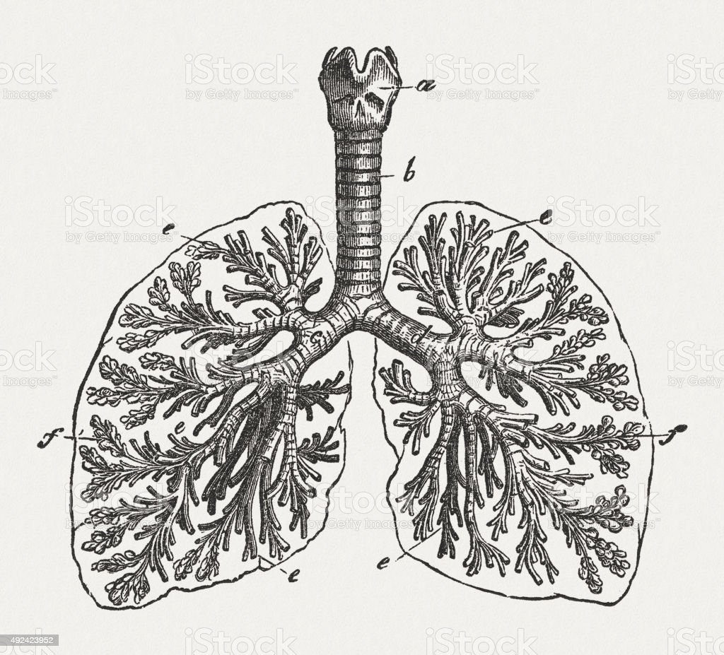 Respiratory system of man, published in 1884 vector art illustration