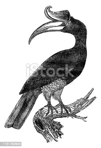 Steel engraving of The rhinoceros hornbill ( Buceros rhinoceros ) is a large species of forest hornbill ( Bucerotidae ). In captivity it can live for up to 35 years. It is found in lowland and montane, tropical and subtropical climates and in mountain rain forests up to 1,400 metres in Borneo, Sumatra, Java, the Malay Peninsula, Singapore, and southern Thailand. Original edition from my own archives Source :