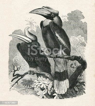 The hornbills ( Bucerotidae ) are a family of bird found in tropical and subtropical Africa, Asia and Melanesia. Left : Rhinoceros hornbill ( Buceros rhinoceros ) , Indonesia. Right : Knobbed hornbill Original edition from my own archives Source :