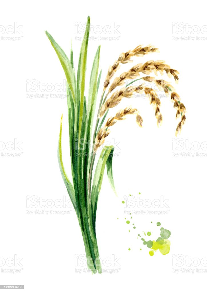 Rice Plant With Leaves And Grains Watercolor Hand Drawn Illustration
