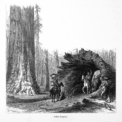 Riding Horses through Giant Redwoods in Mariposa Grove, Yosemite Valley, Yosemite National Park, Sierra Nevada, California, American Victorian Engraving, 1872