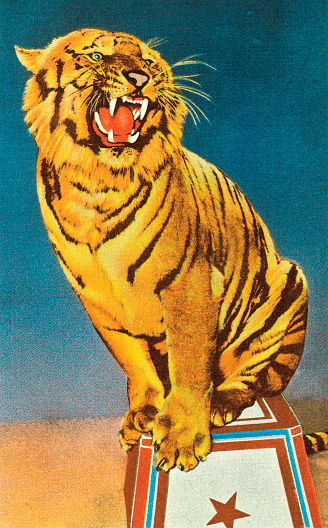 Roaring circus tiger illustration