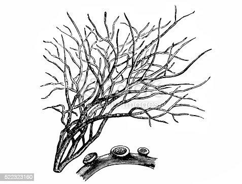 istock Roccella tinctoria - Wikipedia 522323160