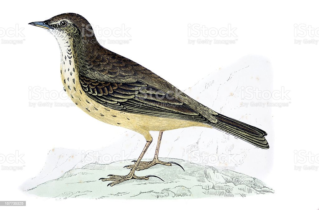 Rock Pipit - Hand Coloured Engraving royalty-free stock vector art
