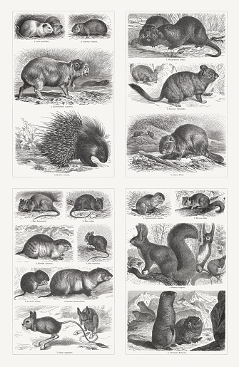 Rodents, wood engravings, published in 1897
