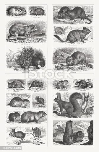 Rodents, top left: 1) Guinea pig (Cavia porcellus); 2) Alpine pika (Ochotona alpina, or Lagomys alpinus); 3) Hydrochoerus capybara; 4) Crested porcupine (Hystrix cristata). Top right: 1) Coypu (Myocastor coypus, or Myopotamus coypu); 2) Chinchilla (Eriomys chinchilla); 3) Eurasian beaver (Castor fiber). Bottom; left: 1) Brown rat (Rattus norvegicus, or Mus decumanus); 2) Black rat (Rattus rattus, or Mus rattus); 3) Norway lemming (Lemmus lemmus, or Myodes lemmus); 4) House mouse (Mus musculus); 5) Common vole (Microtus arvalis, or Arvicola arvalis); 6) European hamster (Cricetus cricetus, or Cricetus frumentarius); 7) Lesser Egyptian jerboa (Jaculus jaculus, or Dipus aegyptius). Bottom, right: 1) European ground squirrel (Spermophilus citellus); 2) Edible dormouse (Myoxus glis); 3) Red squirrel (Sciurus vulgaris); 4) Alpine marmot (Marmota marmota, or Arctomys marmota). Wood engravings, published in 1897.