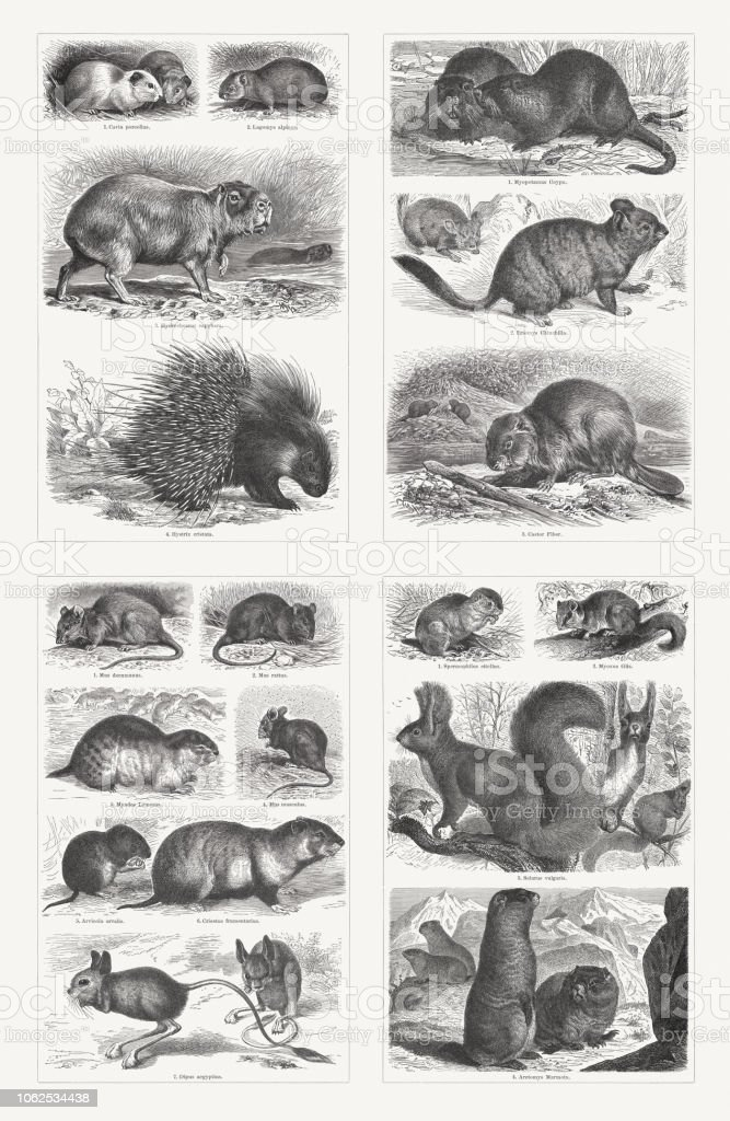 Rodents, wood engravings, published in 1897 vector art illustration