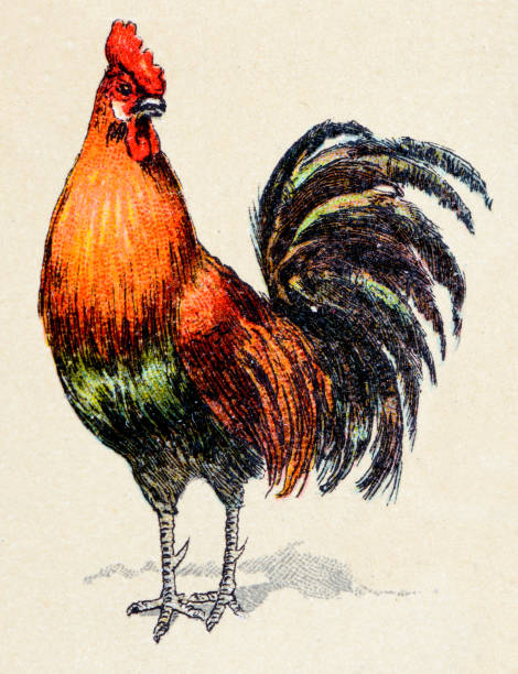 rooster, birds animals antique ilustration - rooster stock illustrations, clip art, cartoons, & icons